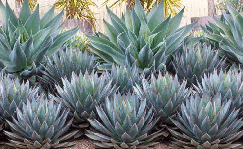 agave plants-landscaping